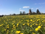Dandelions and Windmill, Latvia