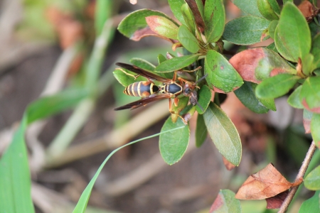 Wasp - wasp, photo, bug, nature