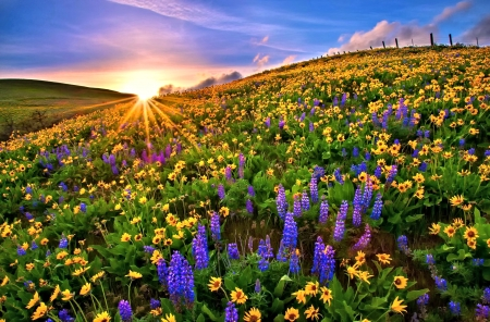 Colorful Flower Field - Field, Sun, Nature, Flower