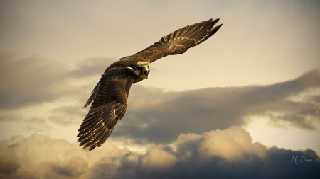 Golden Eagle - bird of prey, magestic, flight, supreme, eagle, clouds, sky, Firefox Persona theme