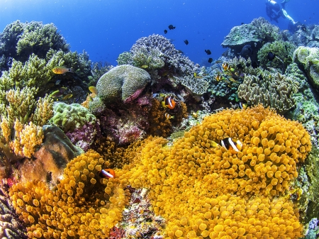 Clownfish among the Corals - Sea, Fish, Nature, Underwater, Coral Reefs