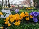 Crocuses in Park