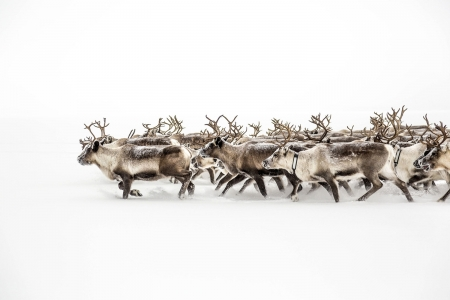 Lost in White - Sami reindeer herders, Migrating reindeer, White, Sweden, Lost