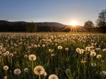 Sunrise over Dandelion Field