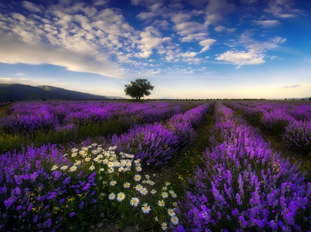Lavender in Bulgaria - pretty, beautiful, Bulgaria, lavender, camomille, sky, lvoely, daisies, wildflowers, field, meadow