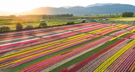 Tulip Field - Spring, Colours, Fields, Tulips