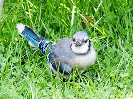 Summer Blue Jay - Summer, Grass, Blue Jay, Photography, Bird