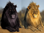 Regular Lion and Black Lion