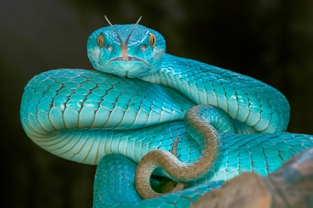 Snake - black, reptiles, animal, blue, snake