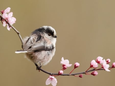 Tit on a Branch of Cherry Blossoms