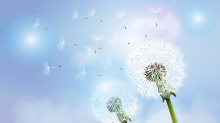 Blowing in the Wind - fall, weed, floral, seeds, dandelion, summer, flowers, Firefox Persona theme, fluff, blue