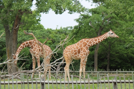 giraffes - photo, nature, giraffes, animals