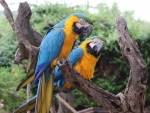 Pair of Blue & Yellow Macaws