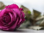 Lonely Purple Rose