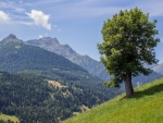 Tree in Alpine Meadow