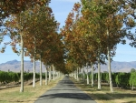 Tree Alley in Vineyard
