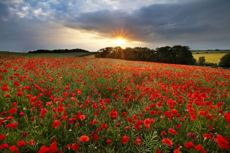 Poppies Field at Sunset - poppies, nature, sunset, trees, clouds, field
