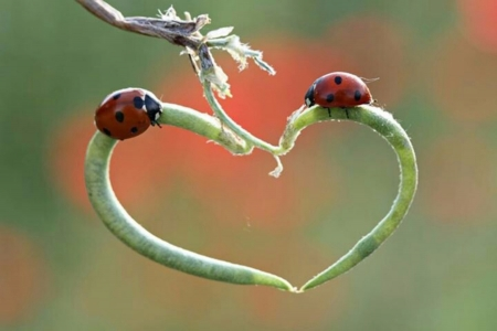 Lady Bugs - Heart, Red, Black, Bug, Lady, Shape
