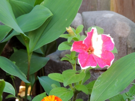 Sunshine On A Pink Petunia - Garden, Pink, Spring, Photography, Petunia, Sunshine, Nature, Flower