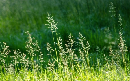 Bent-Grass - bent-grass, green, summer, nature