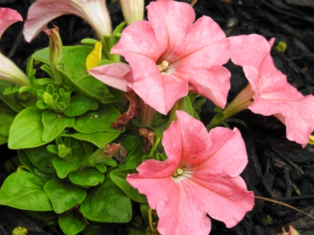 Coral Petunia's - Flowers, Nature, Spring, Photography, Coral Petunias