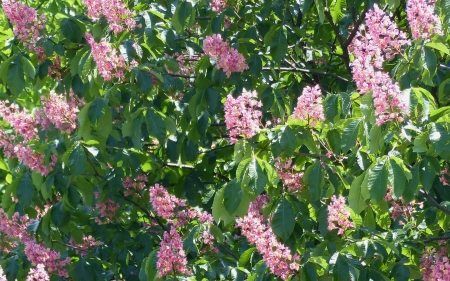 Flesh Red Horse-Chestnut - tree, blooms, horse-chestnut, pink