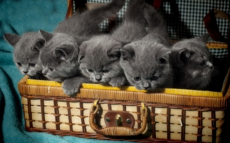 Gray kittens in Suitcase - cats, animal, gray, kittens, suitcase