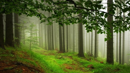 Misty forest - image, brown, grass, beautiful, silver, cold, nice, green, stone, moss, path, beauty, forests, land, morning, paisage, amazing, paysage, colors, trees, panorama, leaf, cool, plants, awesome, day, trunk, white, landscape