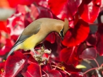 Lovely Waxwing