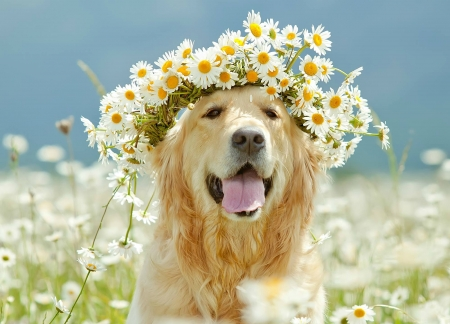 Just being pretty - pretty, wreath, caine, tongue, animal, summer, flower, field, daisy, dog