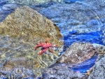Red Crab in the Sea