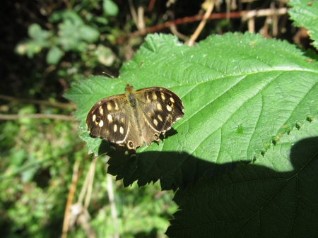 Brown Spotted Butterfly - Butterflies, Wildlife, Bugs, Insects, Nature