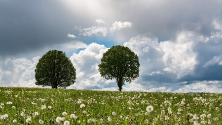 Summer Dandelion Field - Sky, Summer, Nature, Dandelions, Trees, Clouds, Landscapes, Fields, Flowers