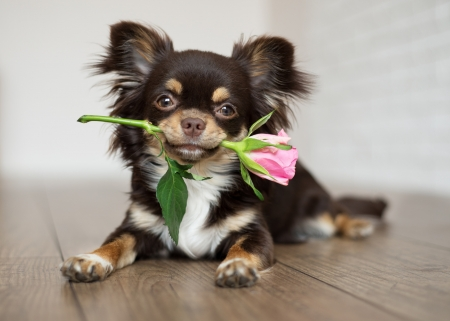 For you! - rose, paw, caine, valentine, birthday, animal, sweet, cute, pet, pink, puppy, dog