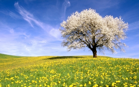 Lonely tree - field, nature, flower, tree