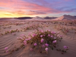 Pink Verbena in Death Valley
