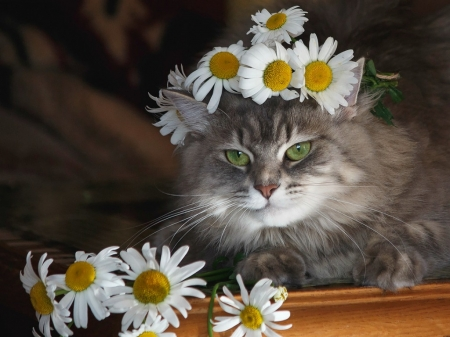 Cat - wreath, daykiney, green eyes, chammomile, cat, animal, cute, summer, white, pisica, daisy