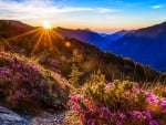 Mountain rhododendron at sunrise