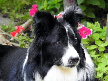 Border Collie - Summer, Animal, Border Collie, Photography, Dog