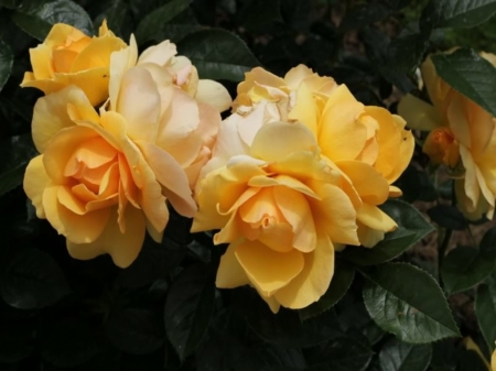 Yellow  Roses - Pretty, Roses, Yellow, Natire