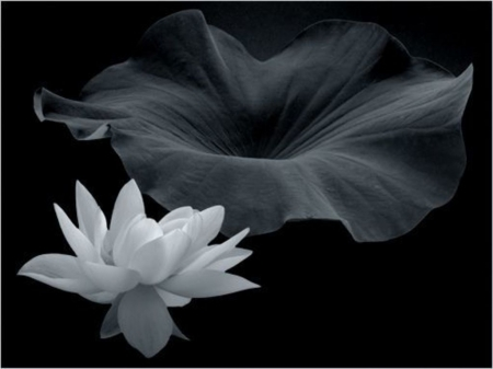 Lotus - Flower, Lotus, White, Black