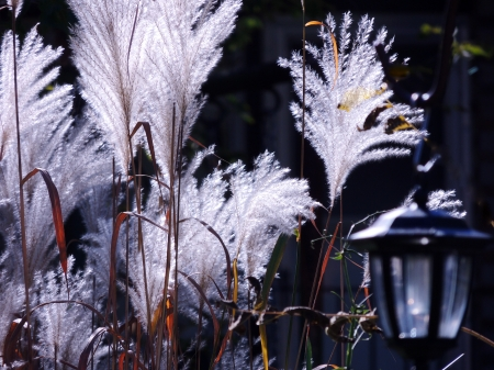 Stems Of White Grass - Ornamental Grass, White, Photography, Lantern, Nature