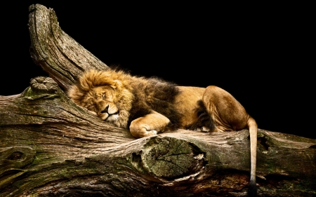 Image result for sleeping lion