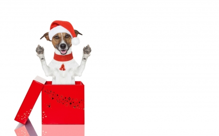 Merry Christmas! - red, paw, caine, box, gift, animal, cute, jack russell terrier, funny, white, dog