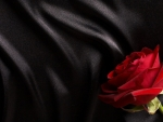 rose on black satin