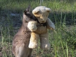Orphaned wallaby has his own teddy bear to hug.