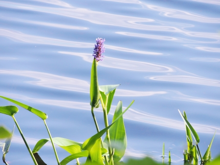 Nature's Lake Flower