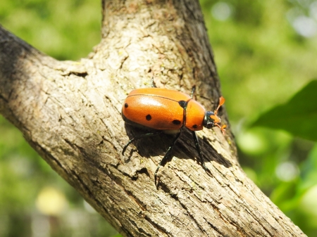 Orange Beetle On A Branch - Summer, Nature, Beetle, Photography, Branch