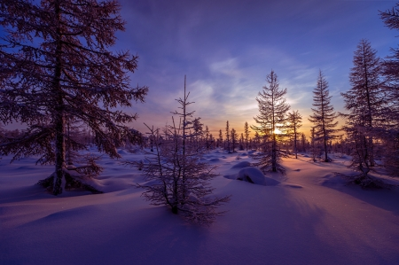 Winter sunrise - purple, snow, nature, sunrise, sunset, trees, pines, winter
