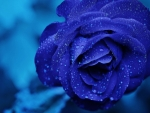 Blue Rose Bud Drops